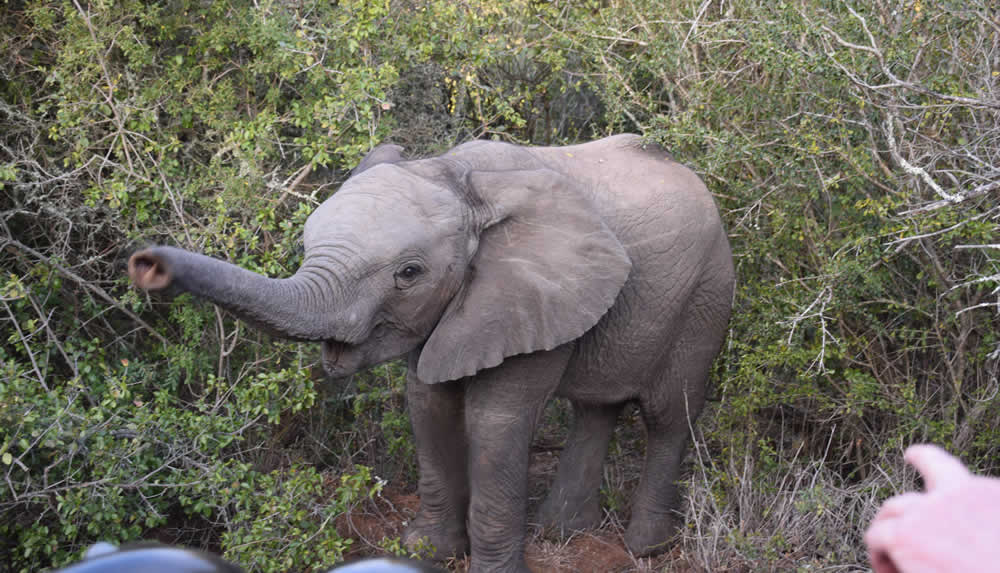 Baby elephant Kariega, South Africa